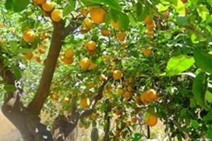 Botanical garden orange trees