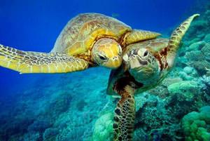 Green Turtle Great Barrier Reef