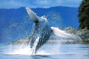 In the Dominican Republic begins the season for whale watching