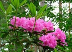 Rhododendron Bremen park