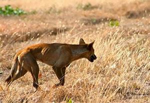 The Wild Dog Dingo