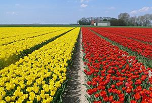 tulips. Holland