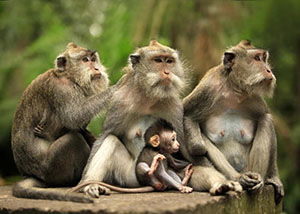 wild monkeys to Bali